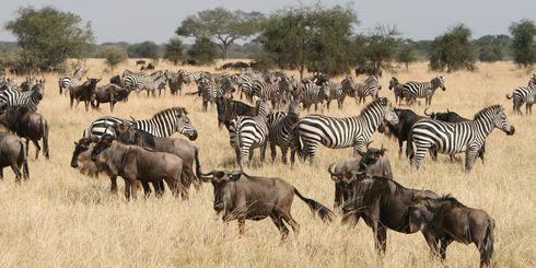 Safari tanzania prijzen - hoeveel kost een Tanzania safari?