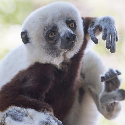Matoke Tours en de Apenheul gaan naar de blauwoogmaki in Madagascar