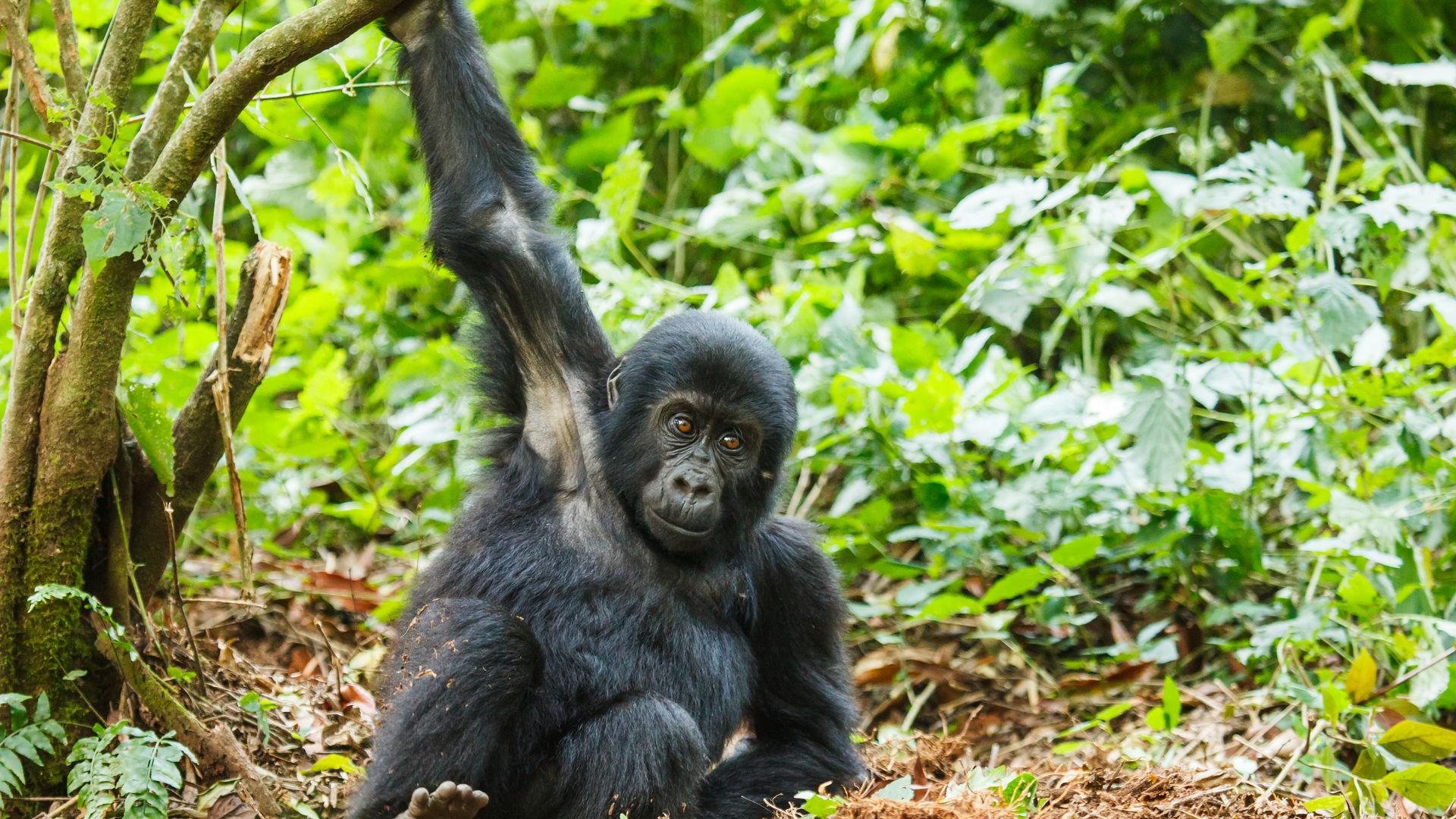 Virtual Gorilla - virtueel op safari met de VR bril van Matoke Tours
