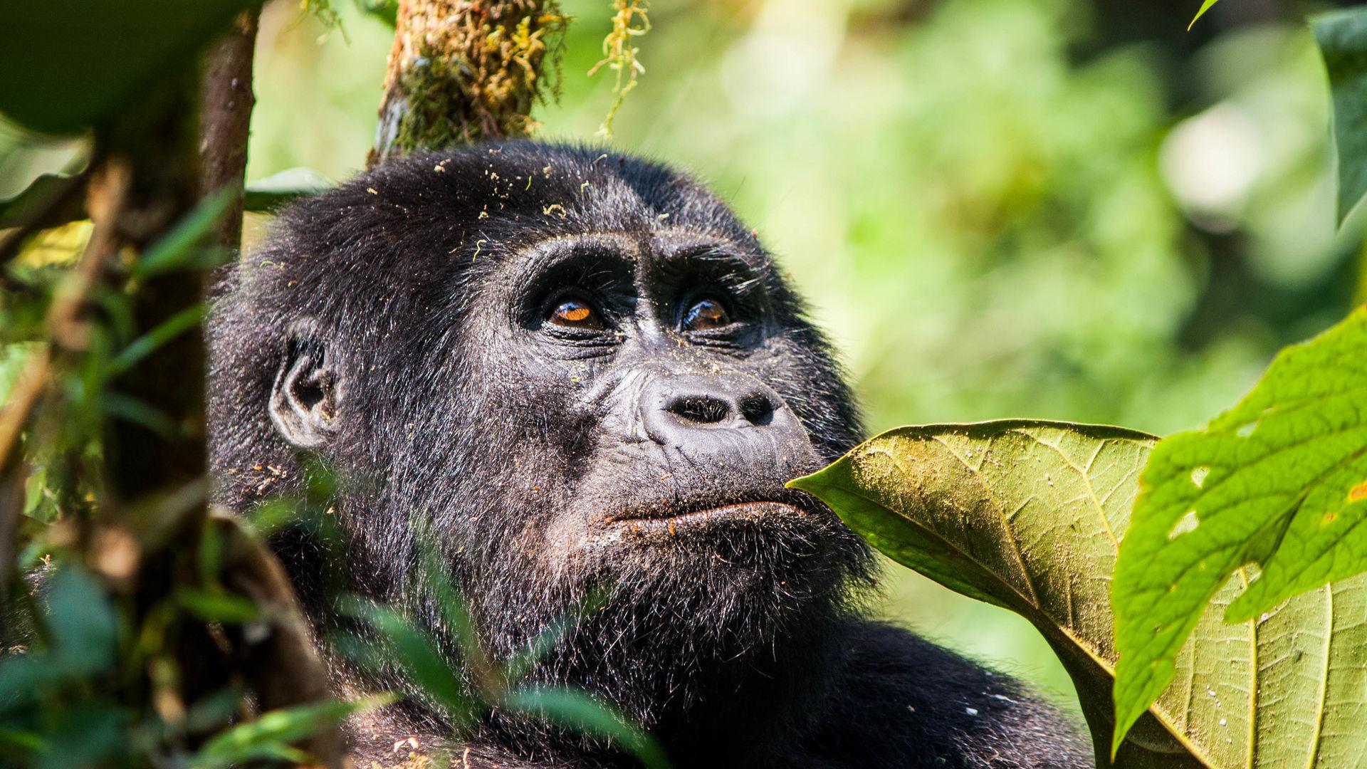 Oeganda rondreis actie gorillapermit