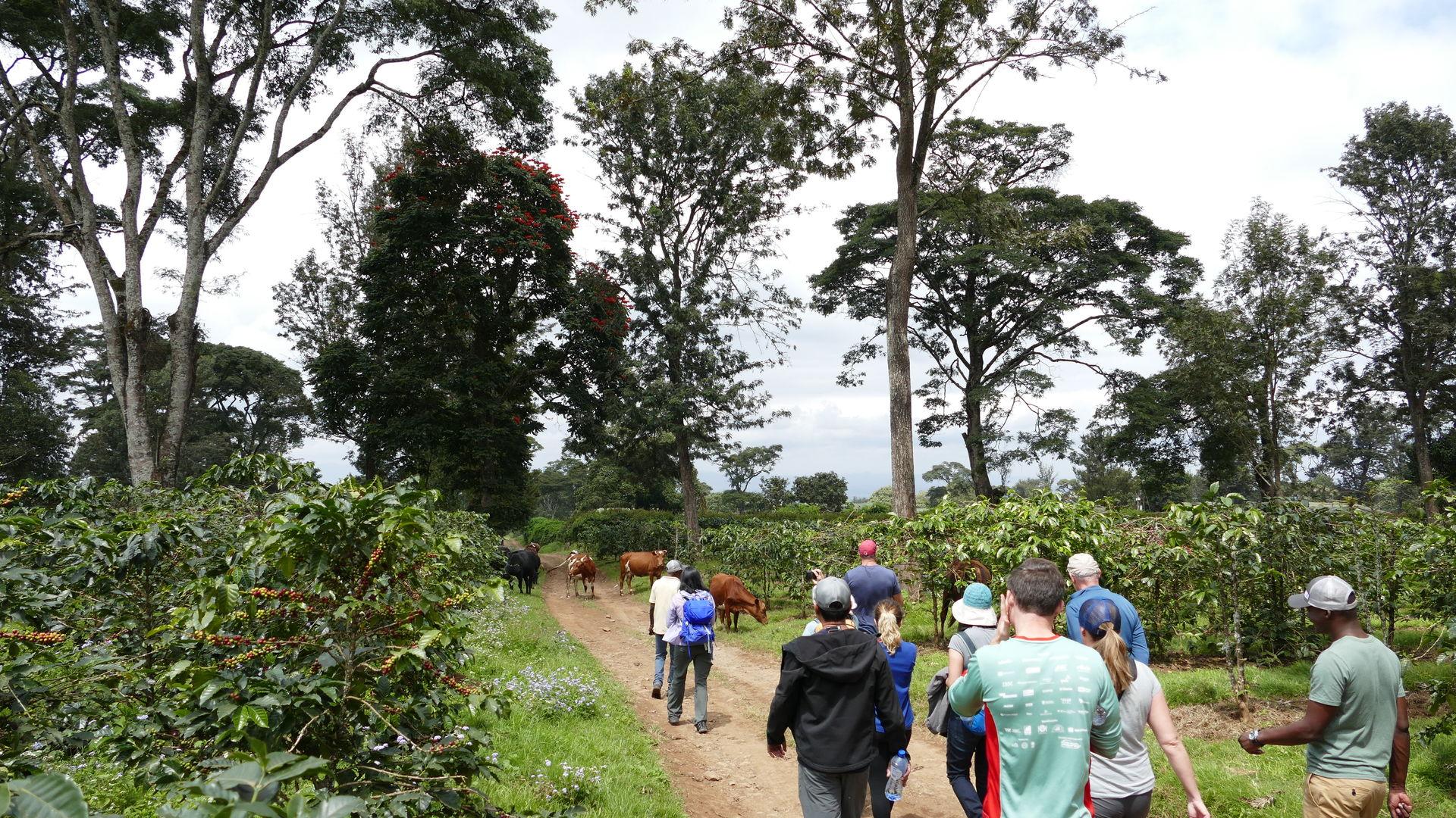 Halisi Kilimanjaro Machame Farm » Matoke