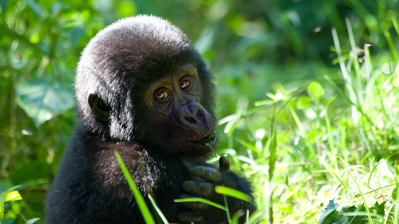 mountain gorilla bwindi