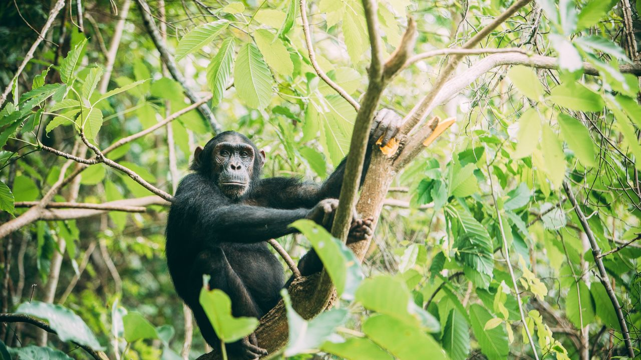 Mahale Mountains | chimpansee tracking | Matoke Tours