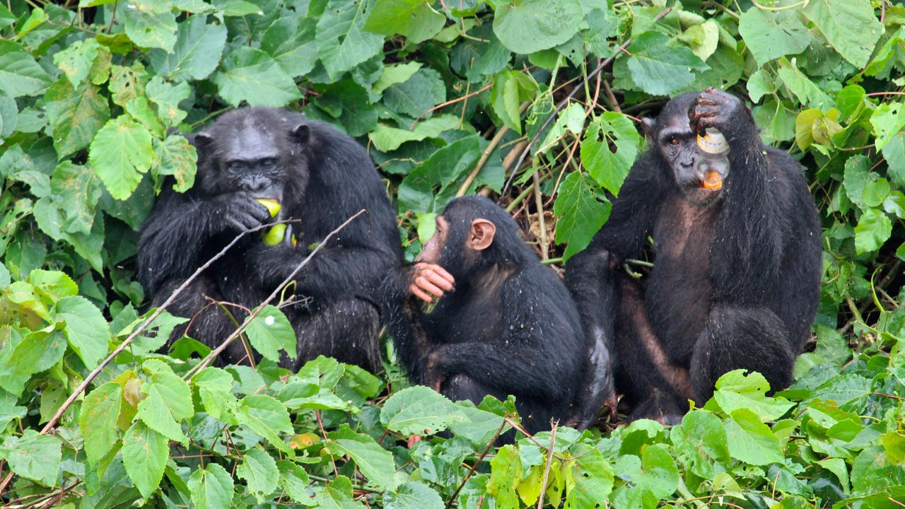 Chimpansees Ngamba Island – Jane Goodall - Matoke Tours