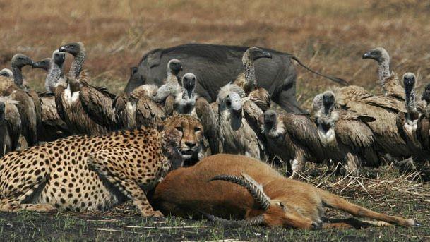 kafue leopard