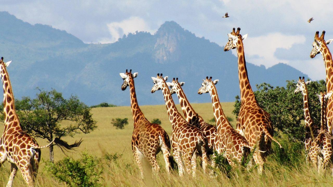 giraffen kidepo