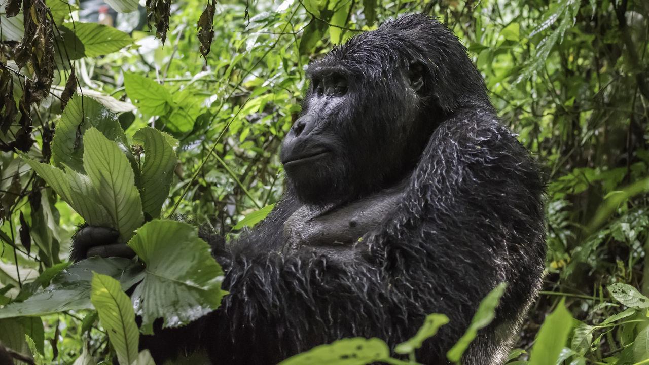 gorilla reizen Uganda, gorillatracking Oeganda en Rwanda – Matoke Tours